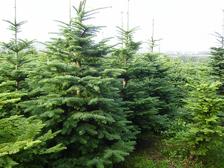Douglas Fir Trees
