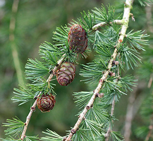 Larch Leaf