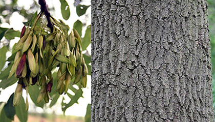Ash Fruit/Bark