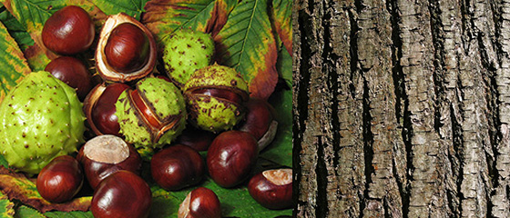 Chestnut Fruit/Bark